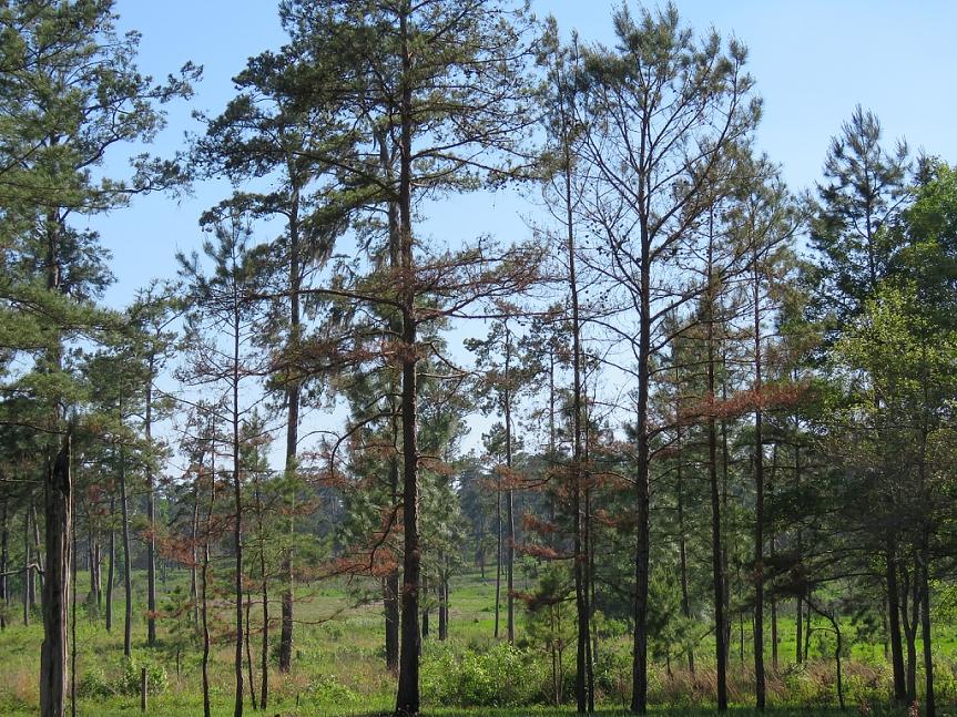 tall-timbers1