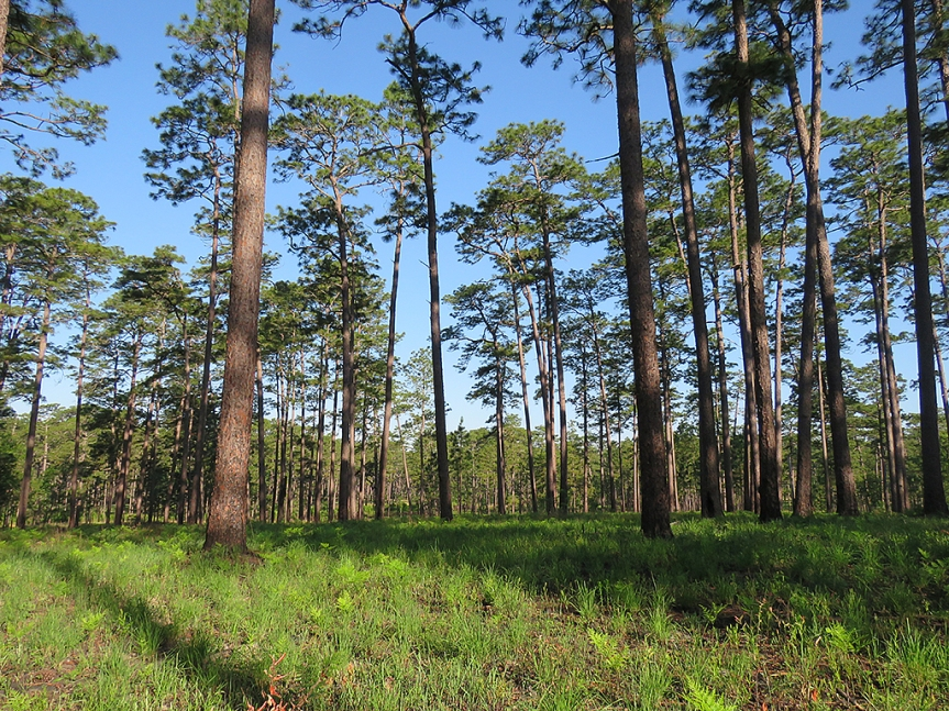 Wide angle camera shot of an old growth pine forest with widely spaced trees and close-cropped ground cover, primarily of grass.