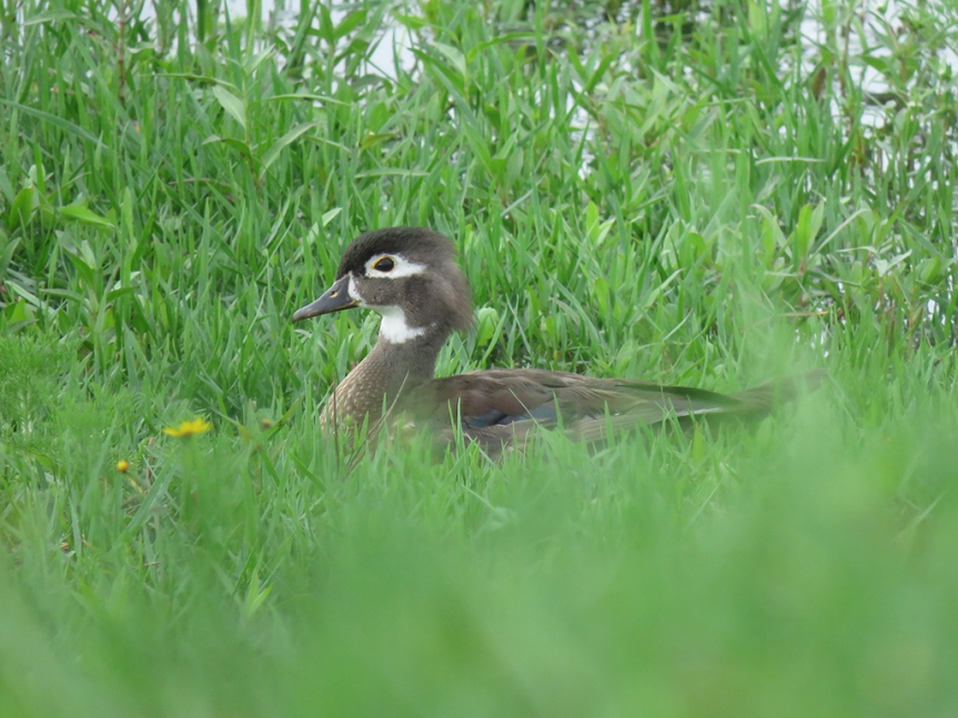 female-wood-duck