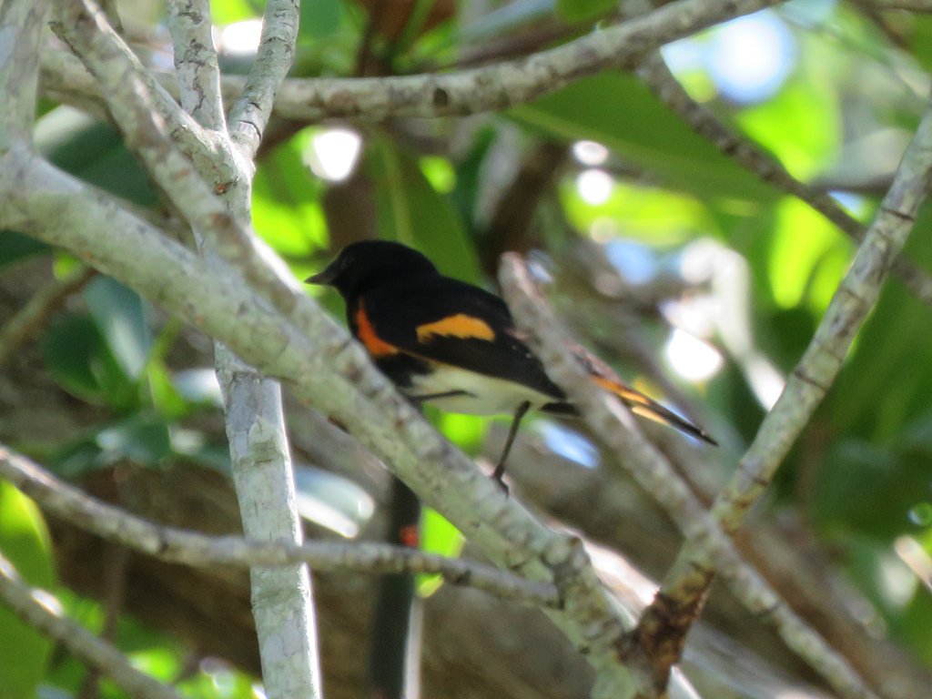 An adult male American Restart, perched in a mangrove tree, facing left. It is partly obscured by branches.