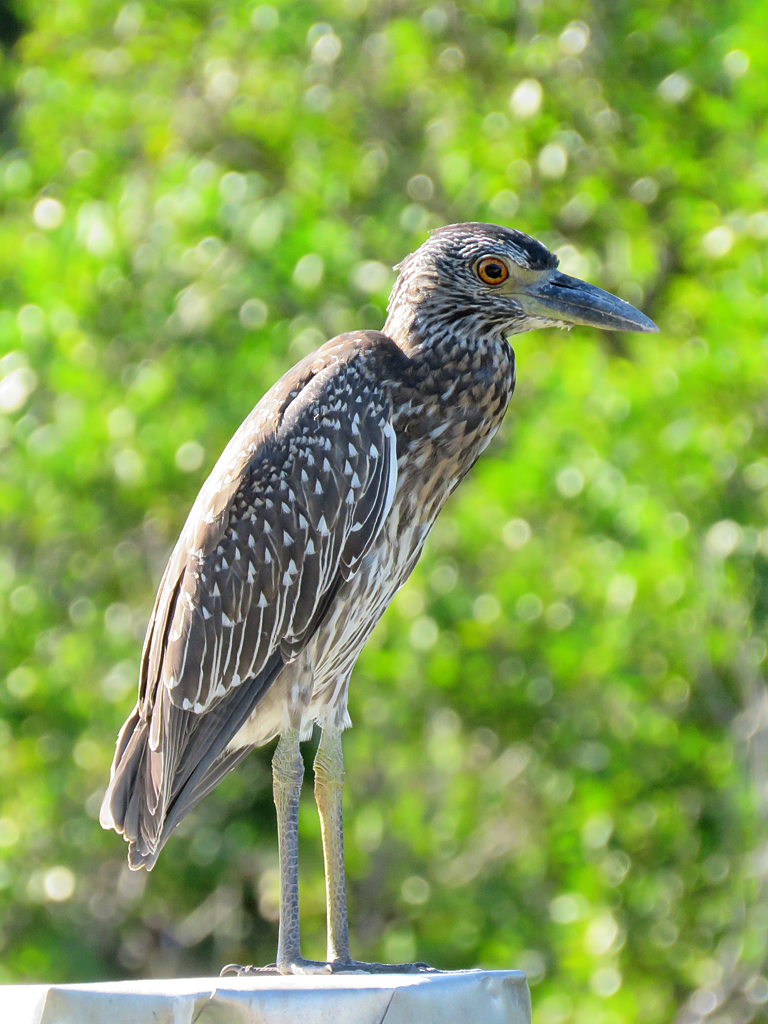An immature Yellow-crowned Night Heron stands, facing right, on top of a wooden post (only the very top of which is in view) with an out-of-focus background of green leaves.