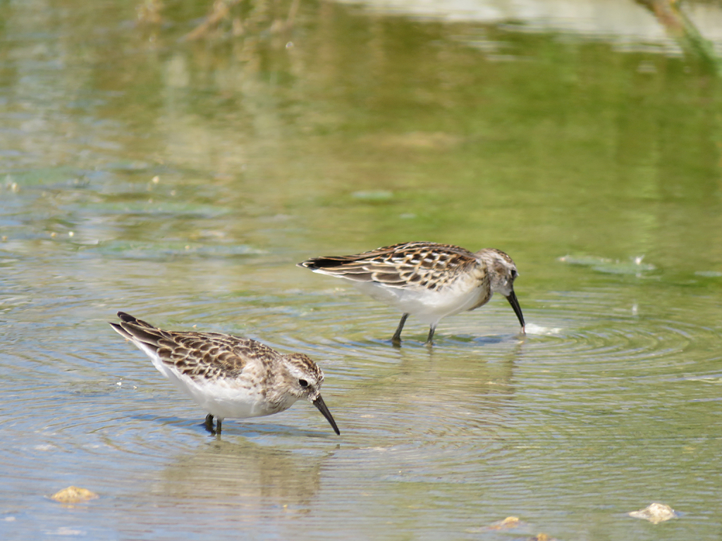 Two Least Sandpipers, probing their bills in dirty water as they wade through water a couple of inches deep.
