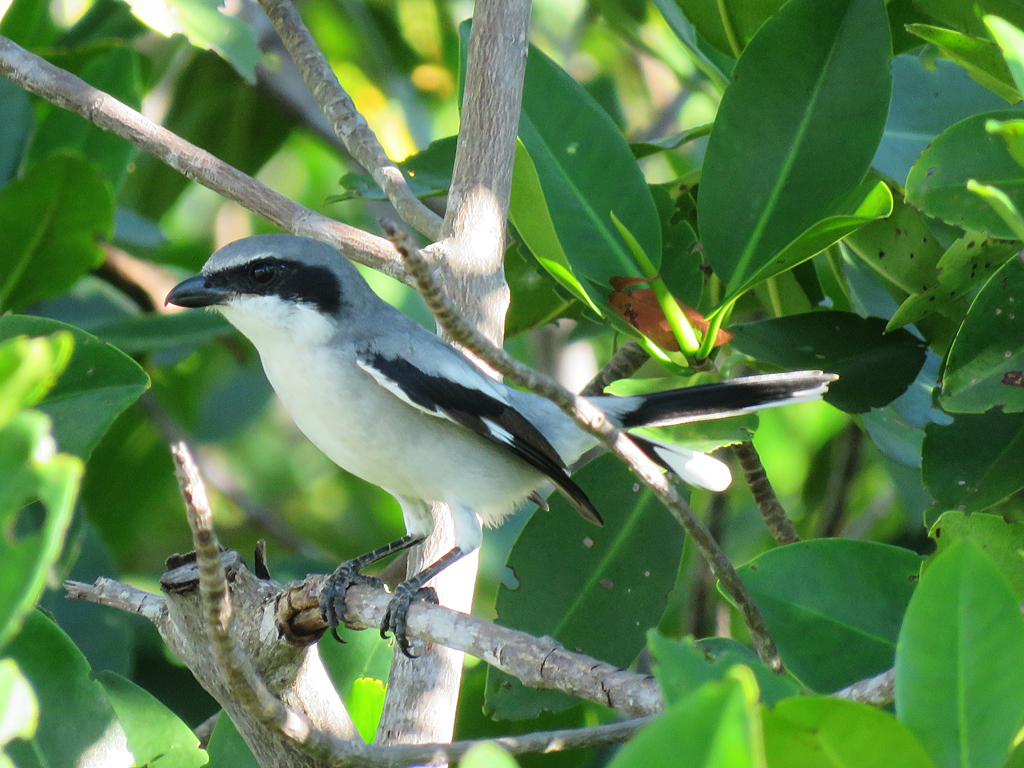 A Loggerhead Shrike sits perched, facing left, among the leaves of a mangrove tree.