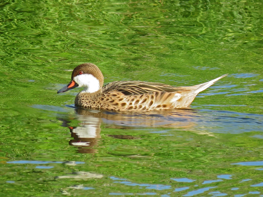 A White-cheeked pintail, facing left, swims on the water in full sun.