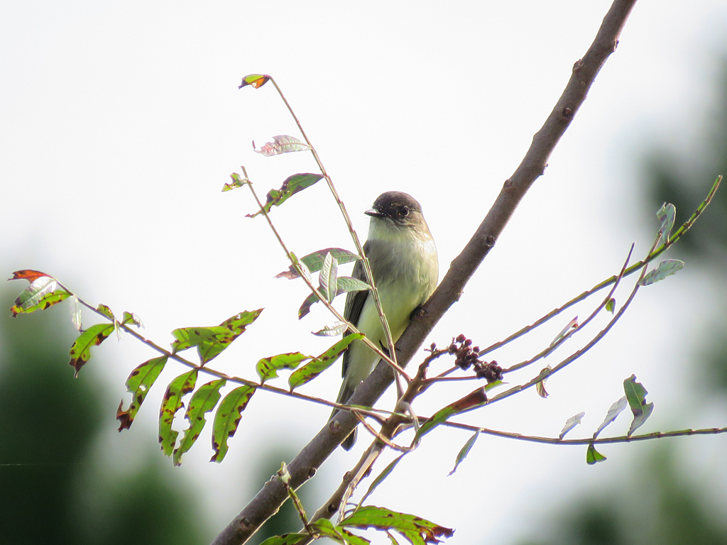 An Eastern Phoebe perched on a branch surrounded by spare foliage.