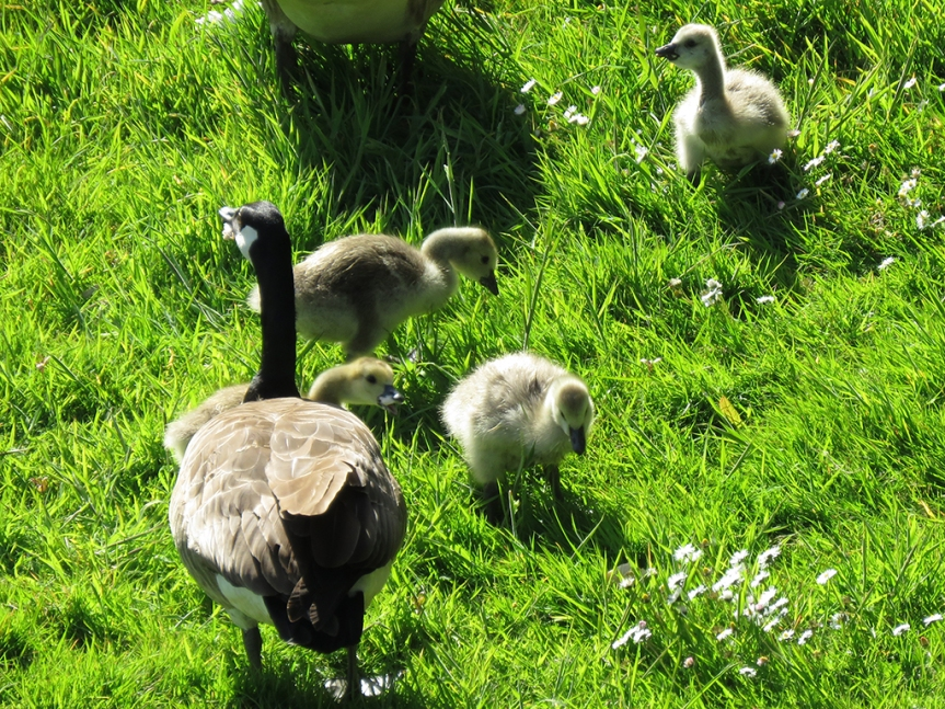 Adult goose with goslings in the grass