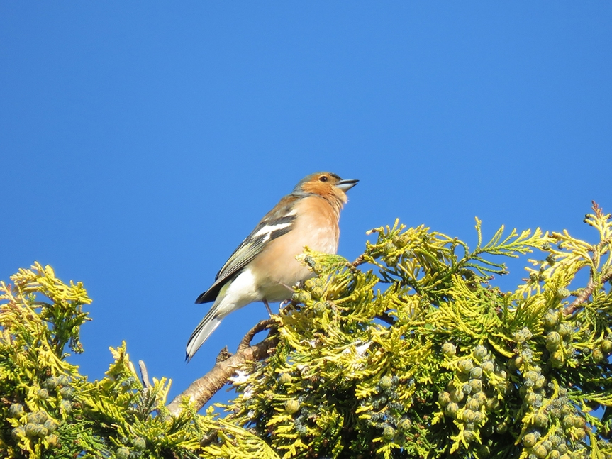 Common-Chaffinch_01