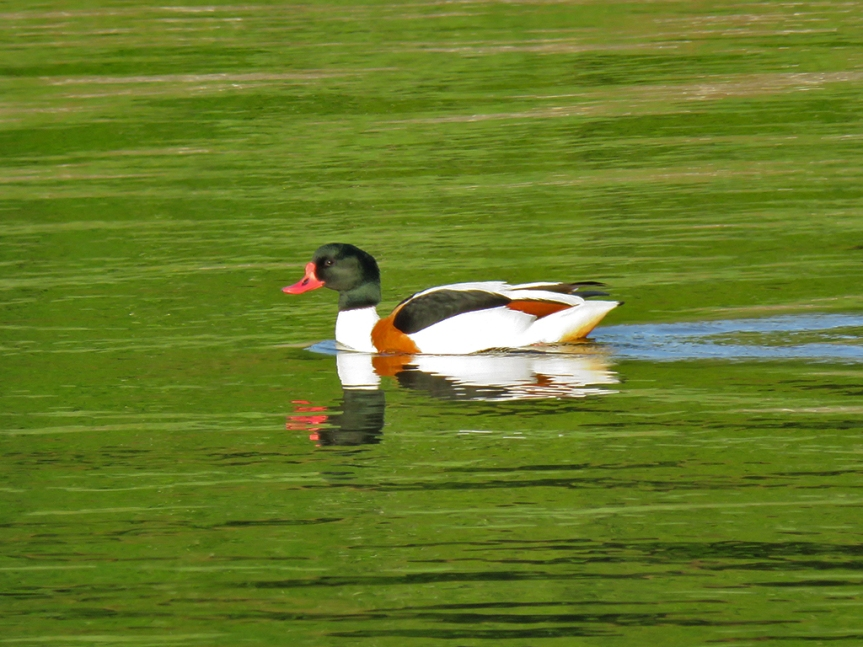 Common-Shelduck_01