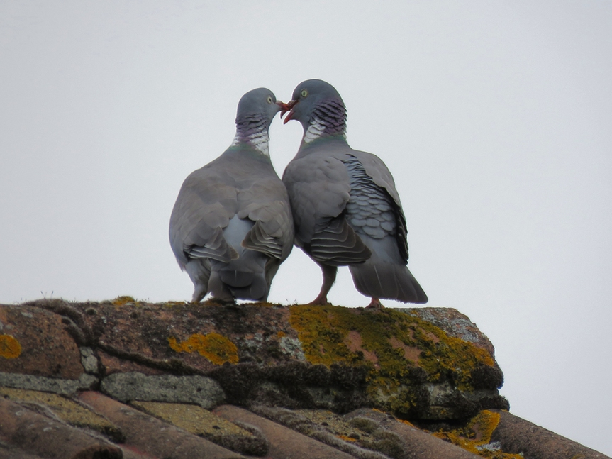 common-wood-pigeon-couple