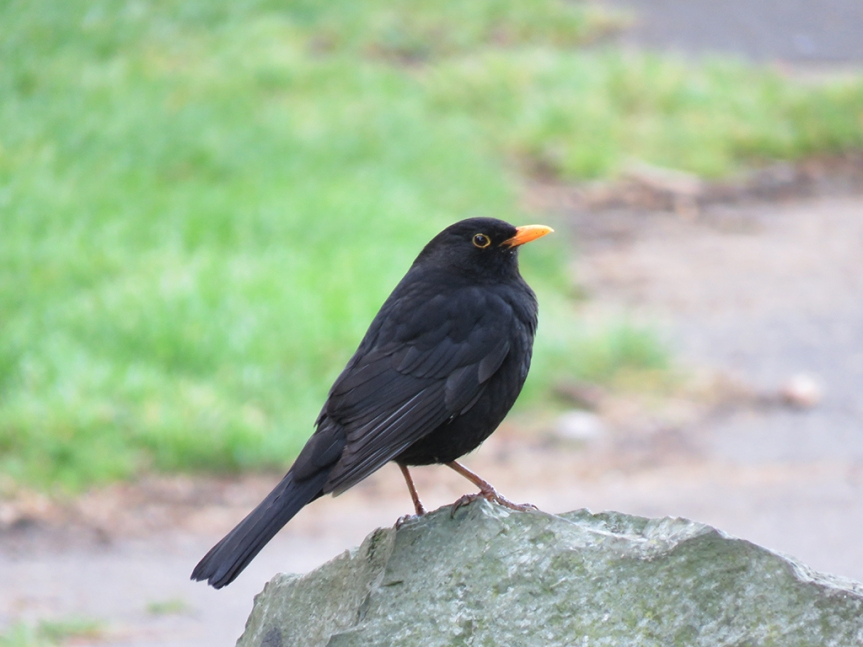 eurasian-blackbird
