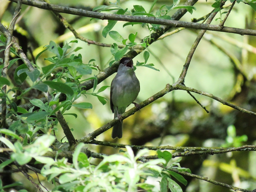 Songbird singing within shaded branches.