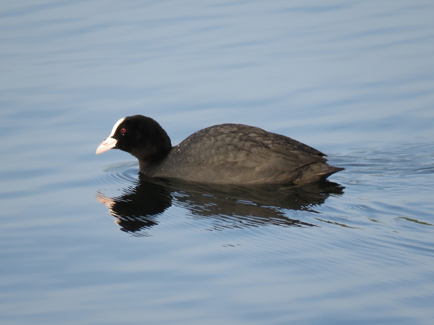 Close-up of a coot swimming on water's surface