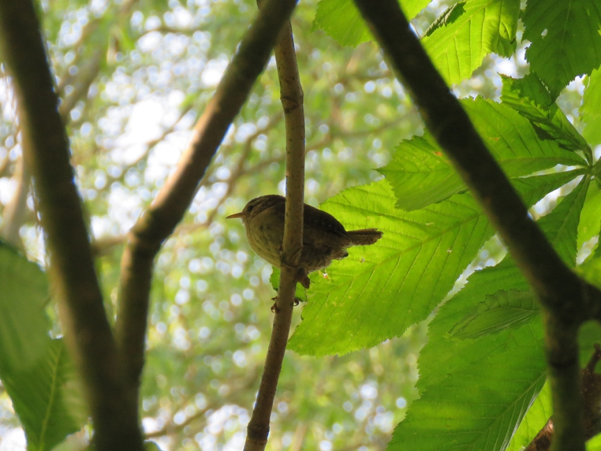 Tiny wren perched among foliage.