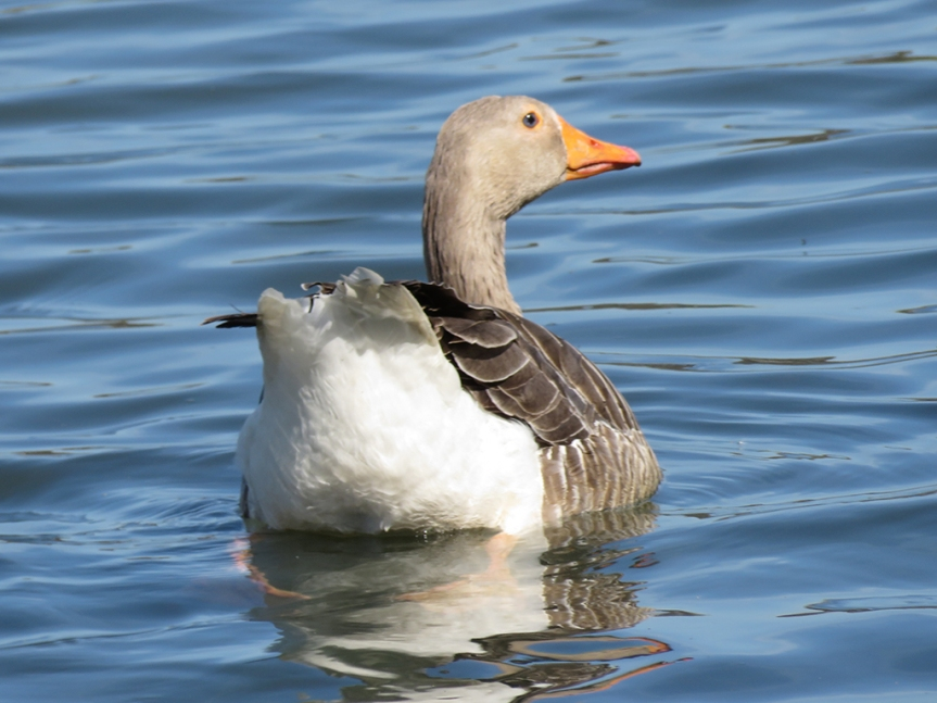 Greylag Goose swimming