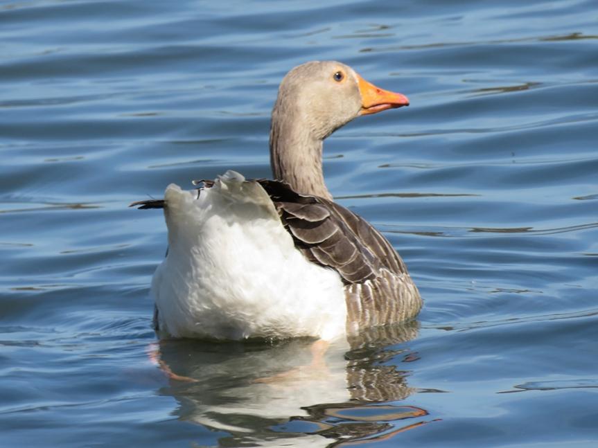 Greylag Goose swimming
