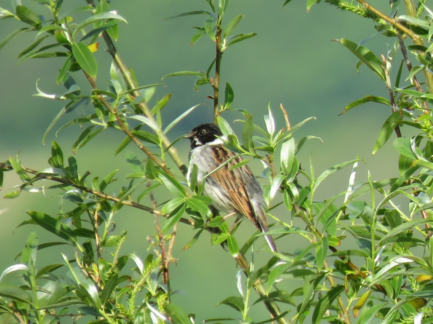Small songbird perched in a bush.