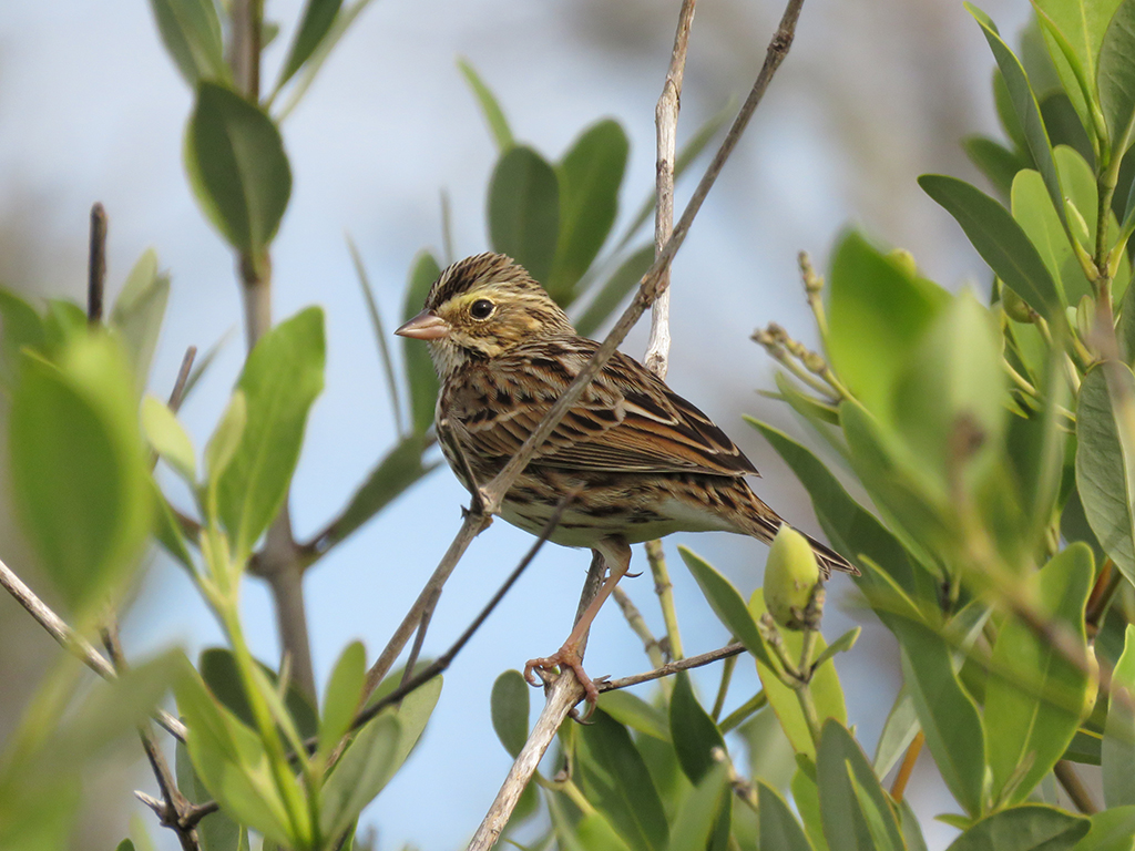 A Savannah Sparrow perching among sparse Mangrove leaves.