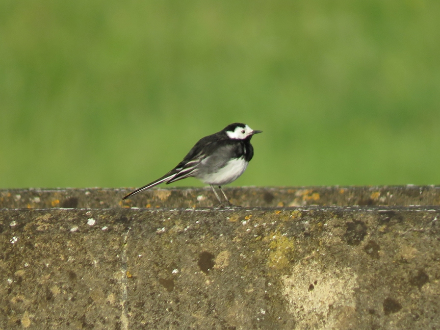 White-Wagtail_01