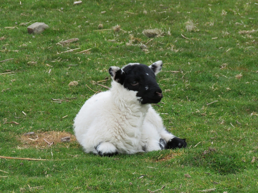 A lamb laying on grass, its head up.