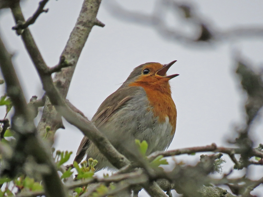 Close-up of a robin singing in a tree.