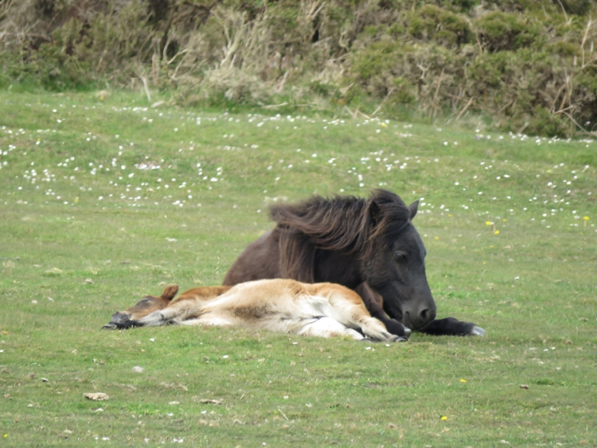 A foal and its mother laying on grass