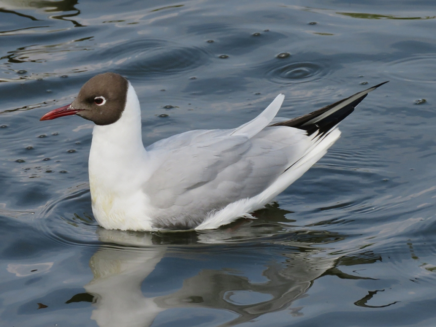 Small white gull with a dark brown head.