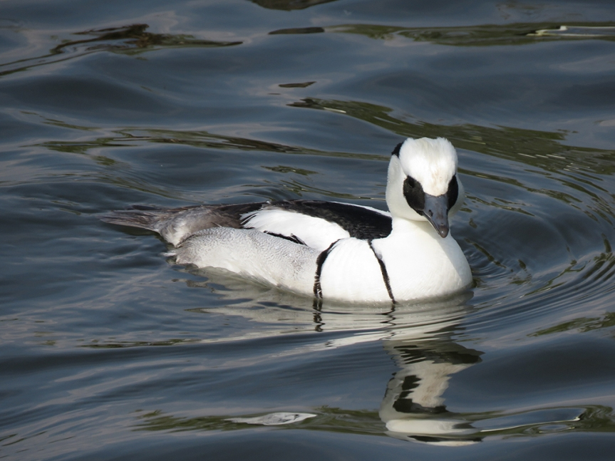 Mostly white duck (with some black on face and back).