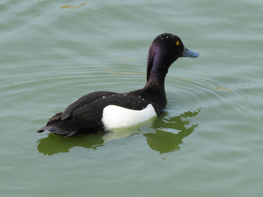 Black and white duck with a dark purple head.