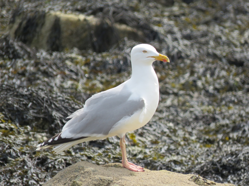 Herring Gull standing on a rock.