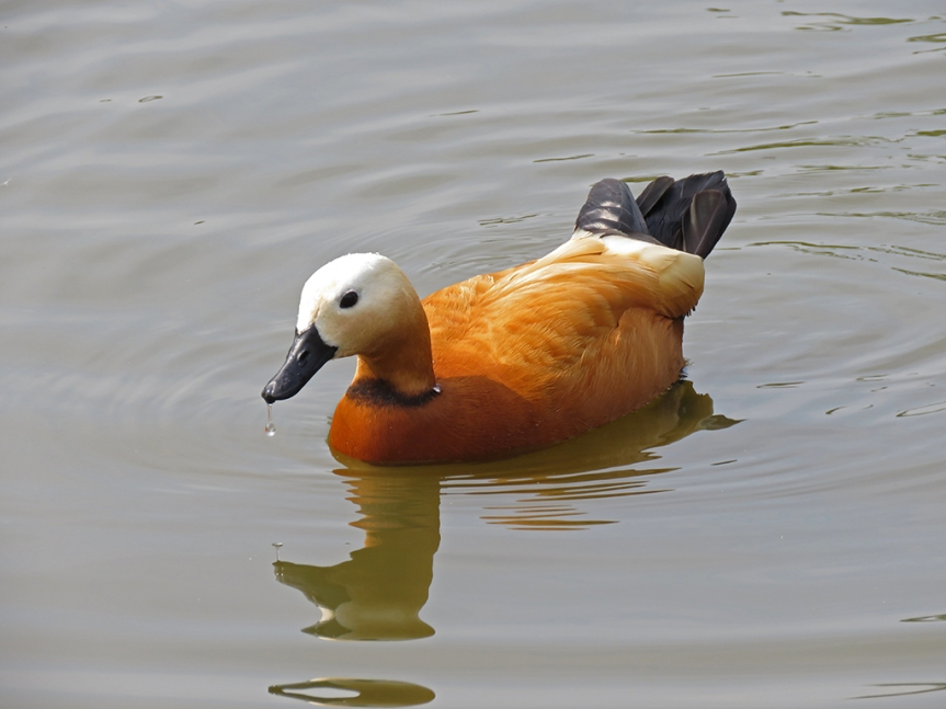 A orange-red duck with a white head and black bill and tail.