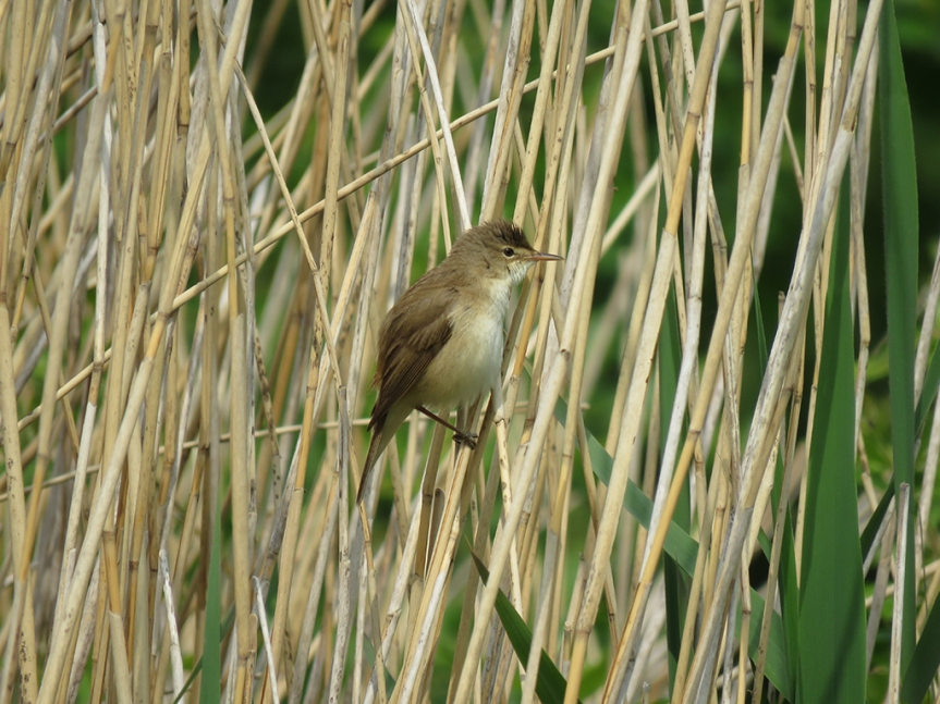 Brown bird with cream belly perched on reeds.