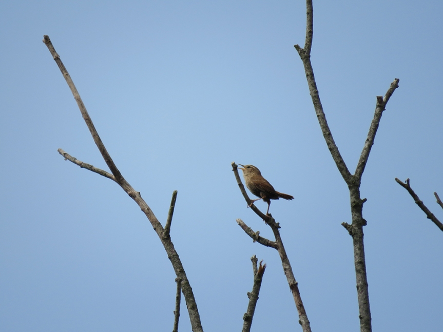 Small brown bird sining, perched atop twigs in a dead tree.