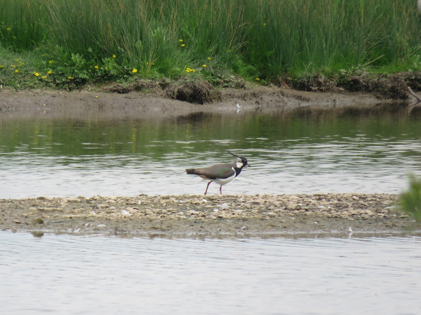 Brown, black and white shorebird with 2 head streamers, walking on a mudflat.