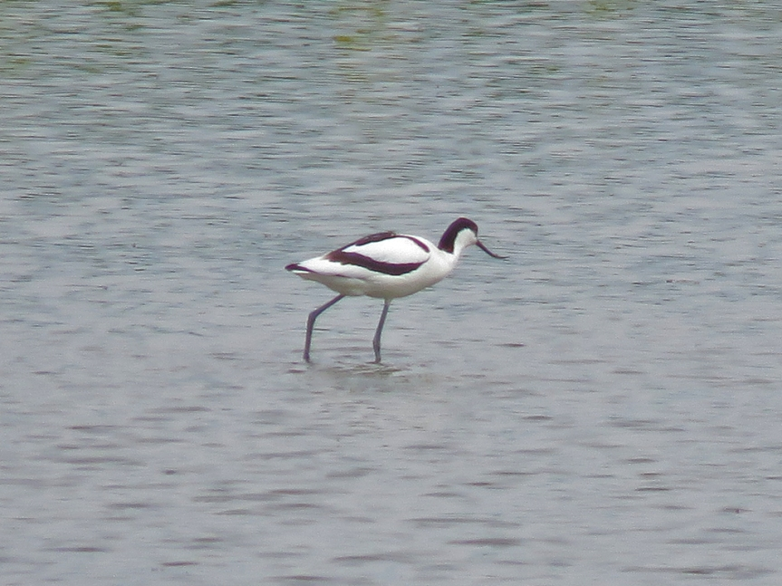 Black and white wading bird with an up-swept bill.