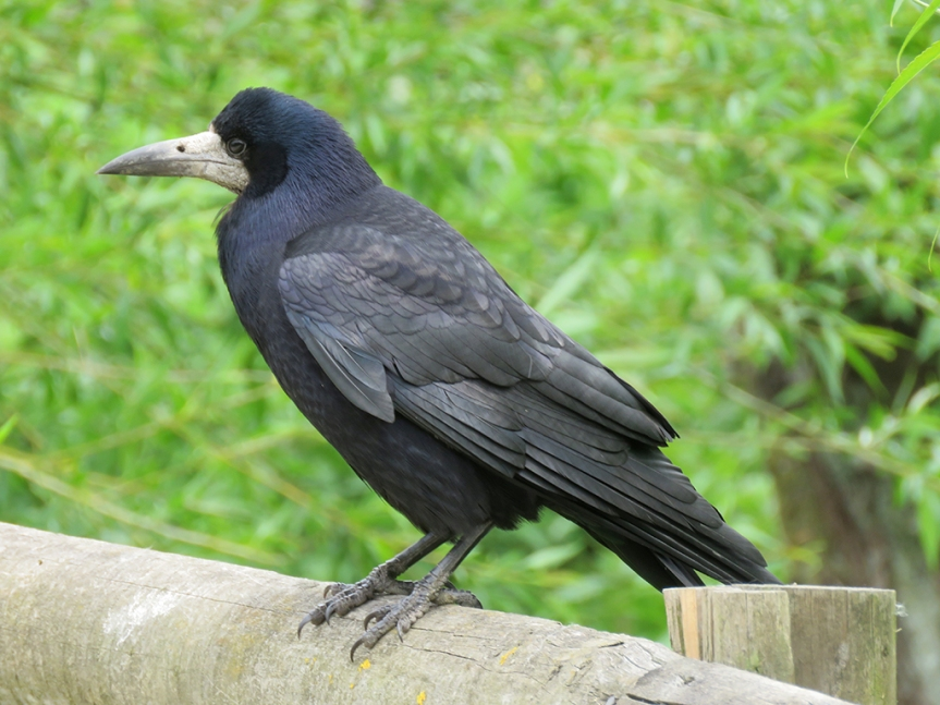 Large black bird with gray face and bill.
