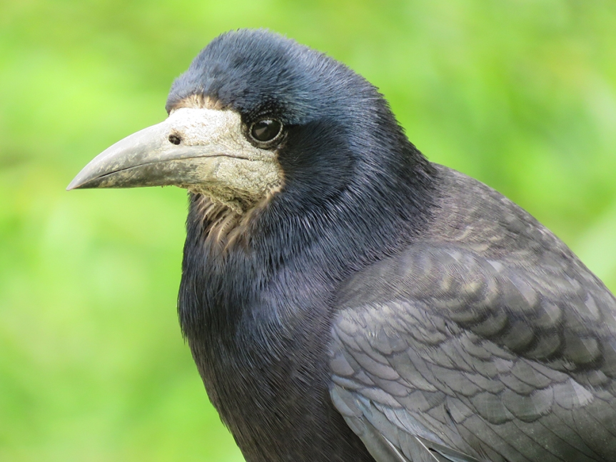 Close of of a black bird with gray face and bill.