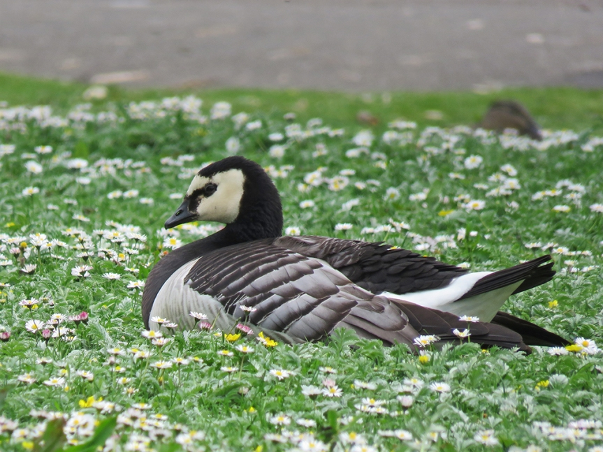Black and white goose sitting among daisies.