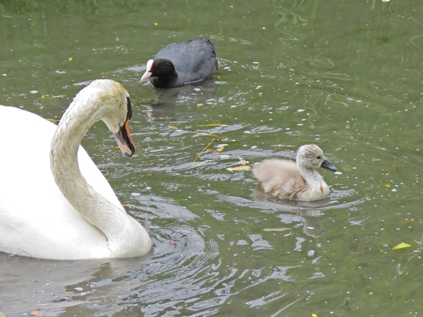 An adult swan keeps one eye on a nearby coot while watching its little gray cygnet swim along.