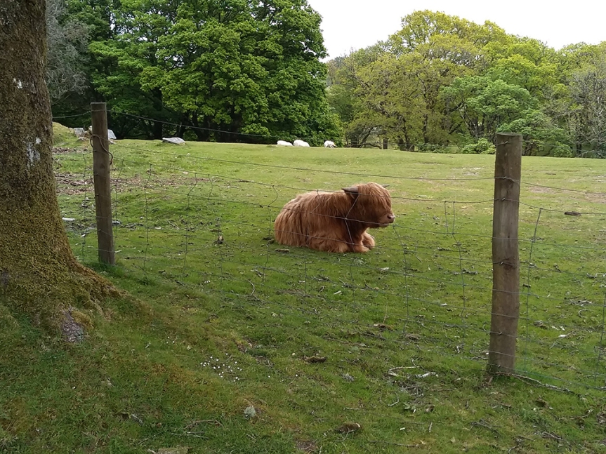 Shaggy-haired cow, resting in a filed behind a wire fence.