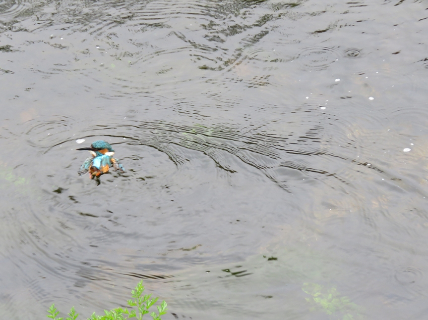 Small kingfisher (bird) floating along the river.
