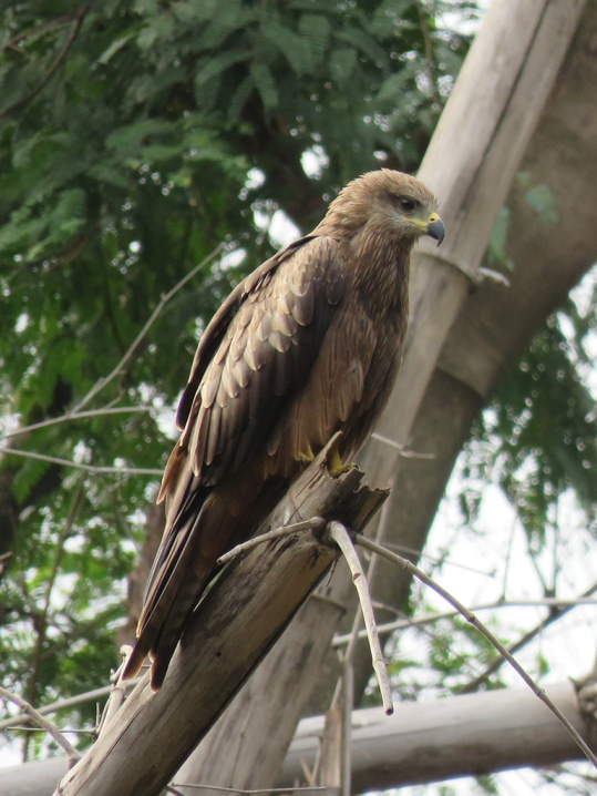 Black Kites are found everywhere over the city, sometimes in the dozens. Here is one perched in Cubbon Park.