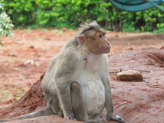 There is a population of Bonnet Macaques in the park. They will steal your food and shinies if you don't watch it!
