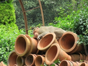 This macaque was soo sleeepy.