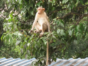 Parting shot of a very angry and dominant Bonnet Macaque. He was quite vocal and demonstrative.