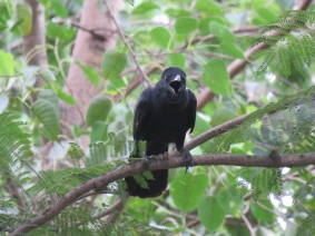 Large-billed Crow.