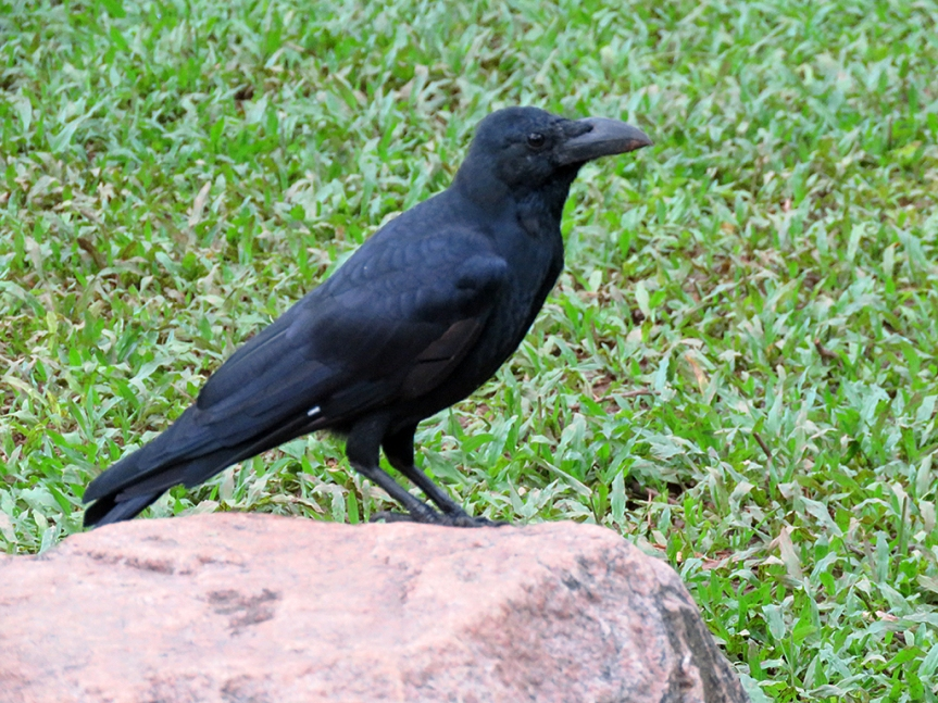 Large black bird sitting on a rock.