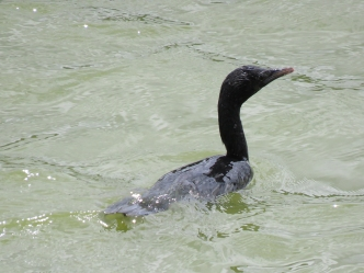 Little Cormorant at Lalbagh Botanical Gardens.