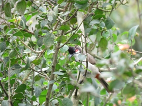 The bird life was suprisingly sparse in the park. This is one of only a few shots I got. This is a Red-whiskered Bulbul.