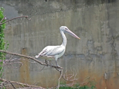 Spot-billed Pelican at Lalbagh Botanical Gardens