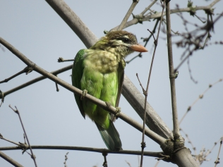 White-cheeked Barbet taken just next to the main road by the hotels.
